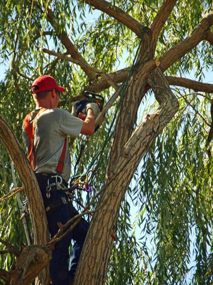 arborist trimming a tree in stillwater